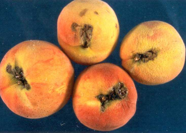 bc tree fruit production guide