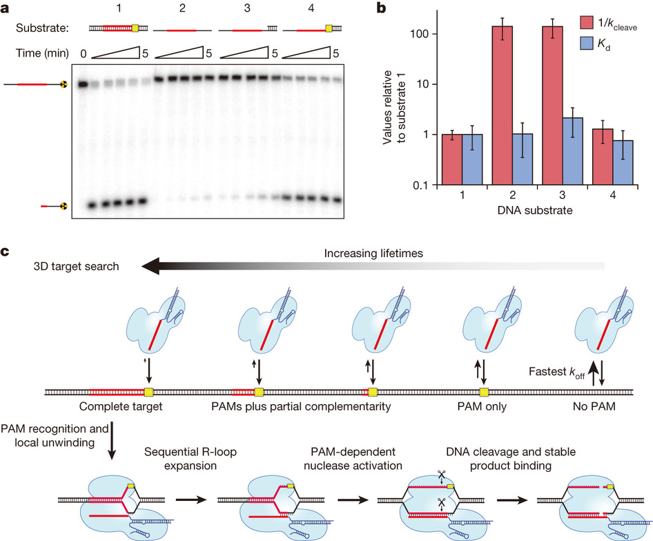 dna interrogation by the crispr rna guided endonuclease cas9